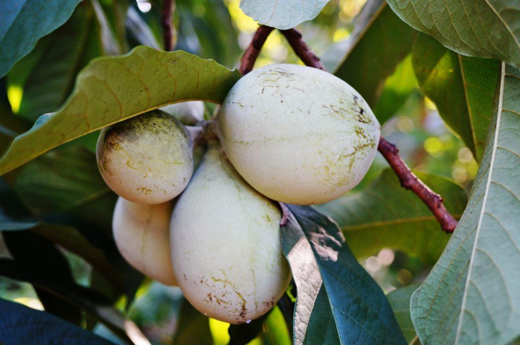 Asimine fruit