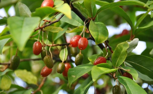 baies d'argent du japon fruit méconnu