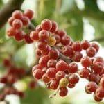 La baie d'argent : découvrez le super fruit aussi appelé olive d'automne