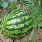 Découvrez la courge barbarine un fruit peu connu dérivé de la pastèque