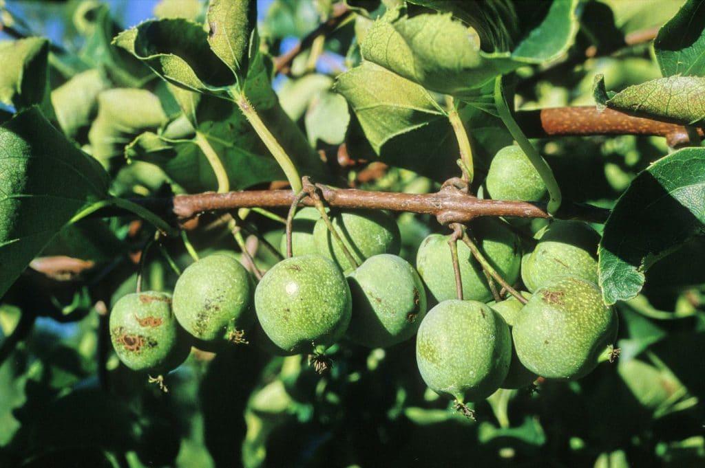 Kiwai fruit méconnu