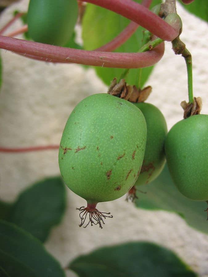 Qu'est-ce que le fruit kiwaï ?